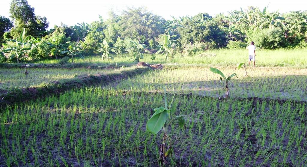 Plantation de riz, ragi et varagu en Inde